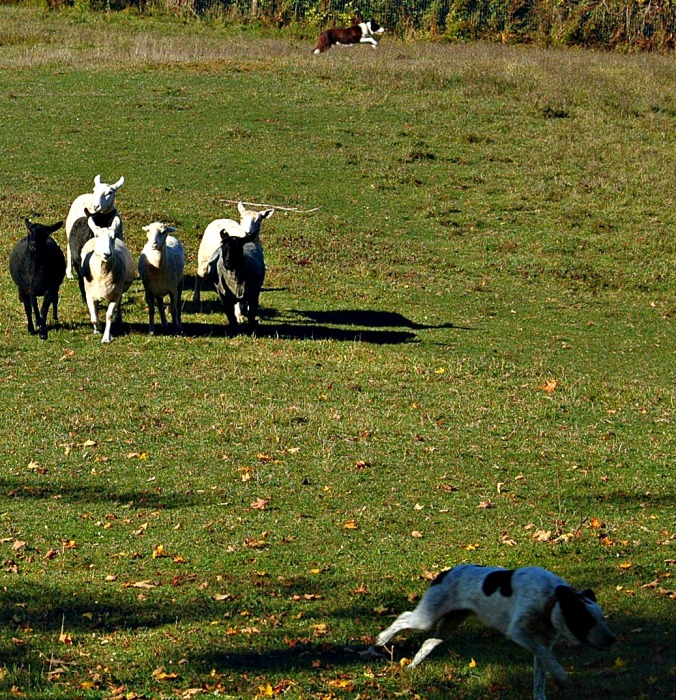 Sheep with Dogs