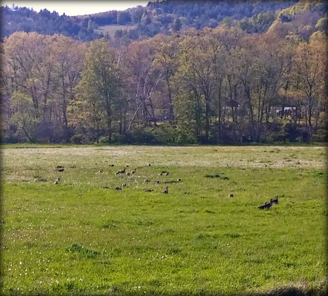 Geese on the Battenkill 1