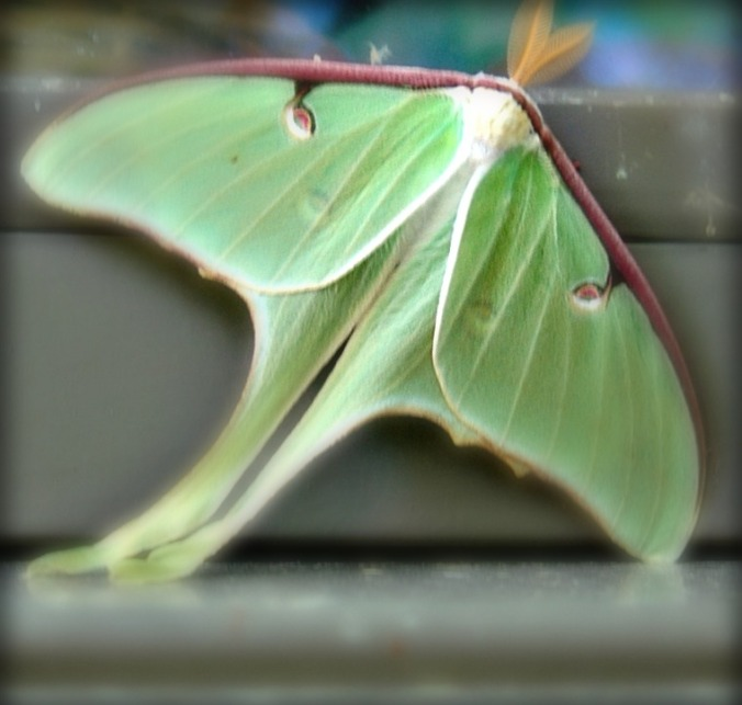 Luna Moth 1 A