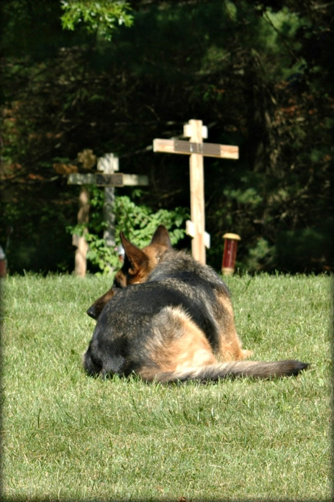 New Skete German Shepherd Dog Image 13