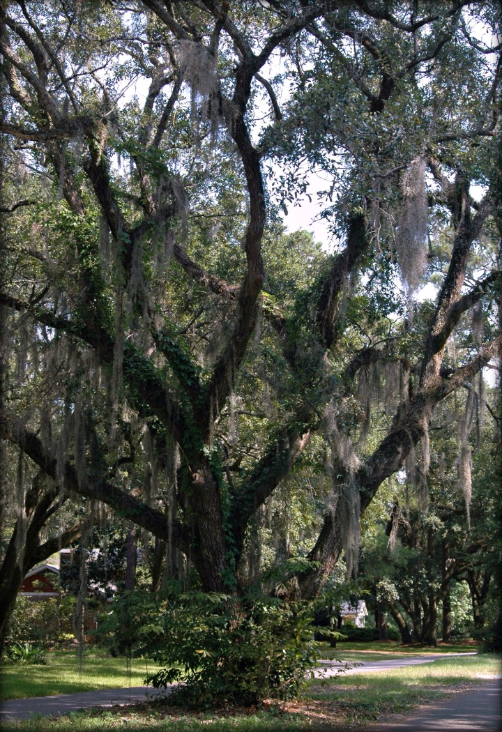 spanish-moss-in-charleston-1
