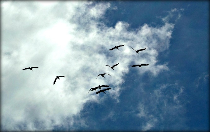 wrightsville-beach-pelicans