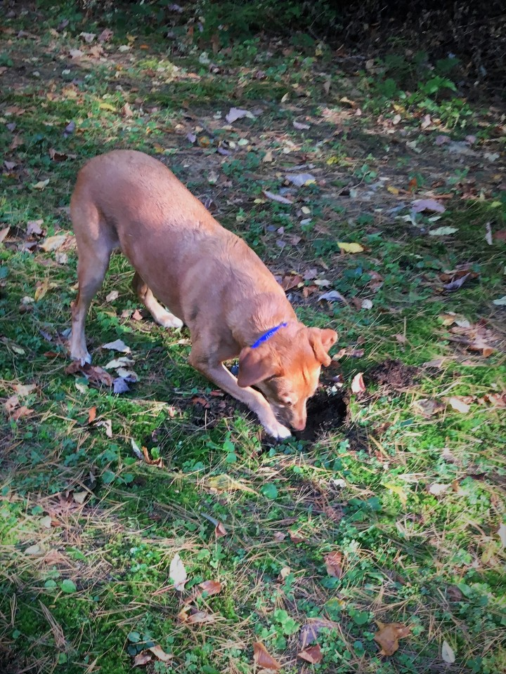 Scout digs for chipmunks
